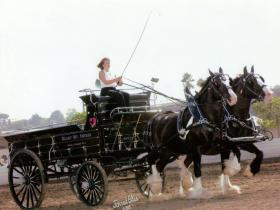Black Hitch Wagon - Great for Mares